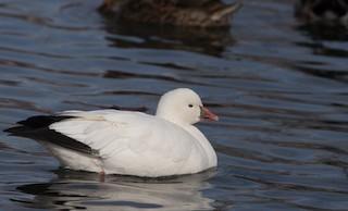 Ross's Goose, ML141432291