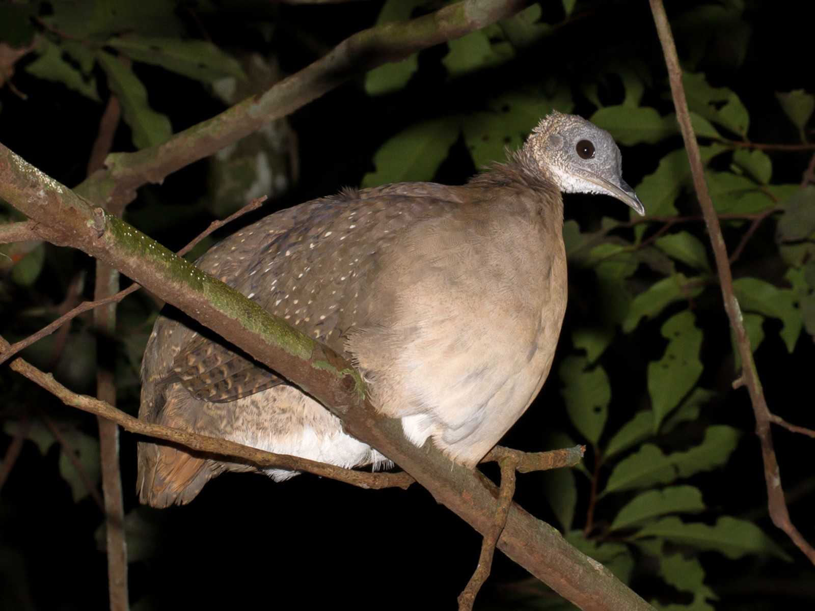 White-throated Tinamou - Cullen Hanks