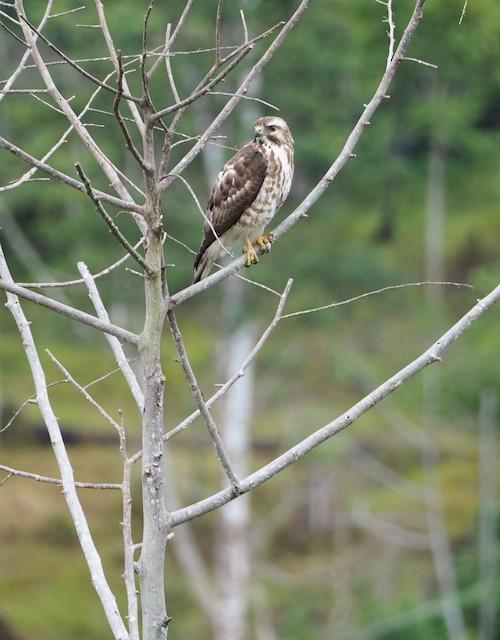 Broad-winged Hawk