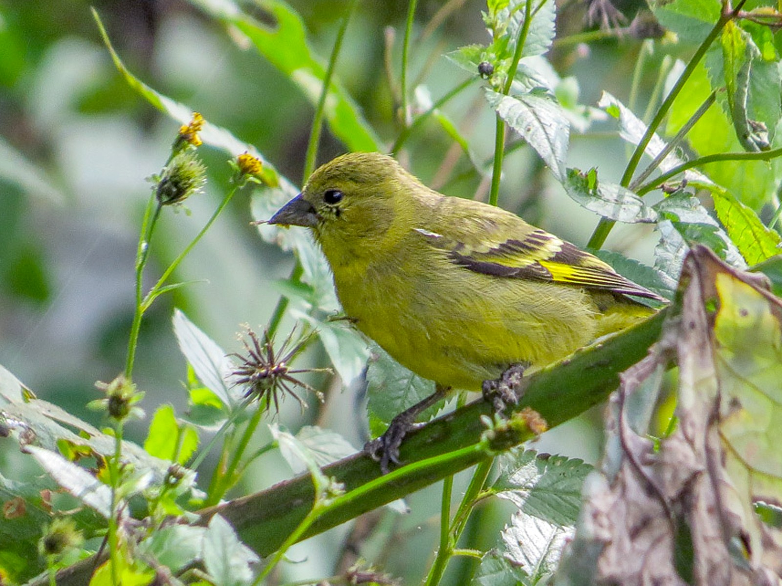 Olivaceous Siskin - Teresa Connell