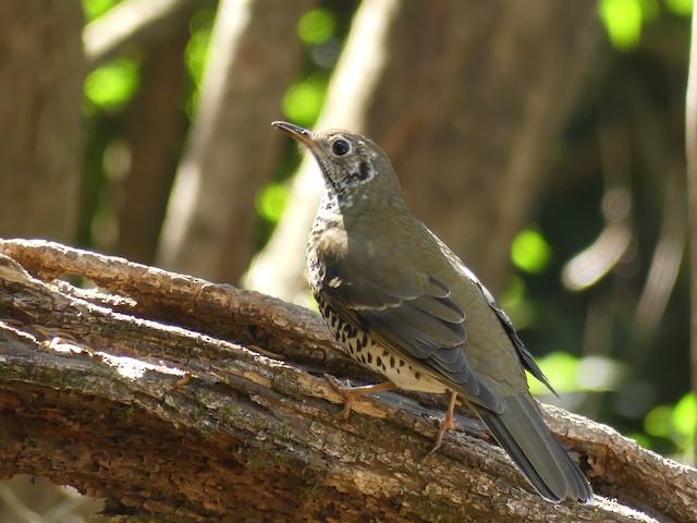 Long-tailed Thrush