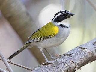- Pectoral Sparrow