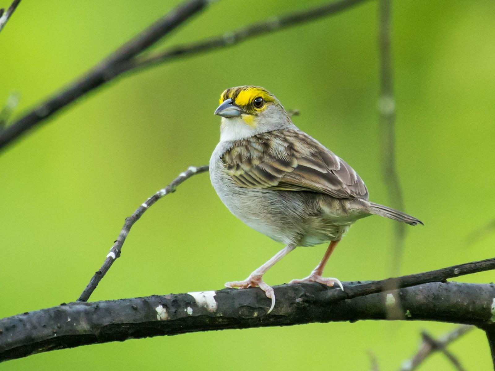 Yellow-browed Sparrow - Nick Athanas