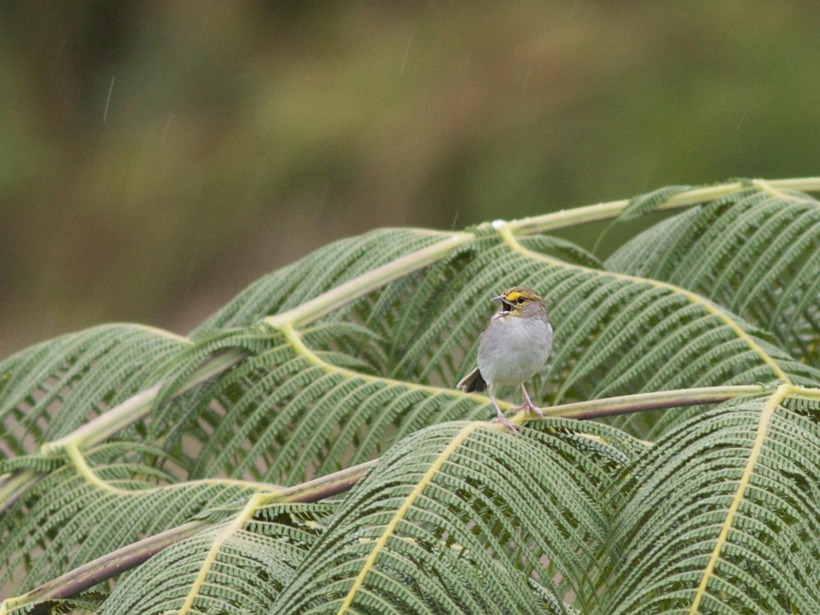 Yellow-browed Sparrow - Ian Davies