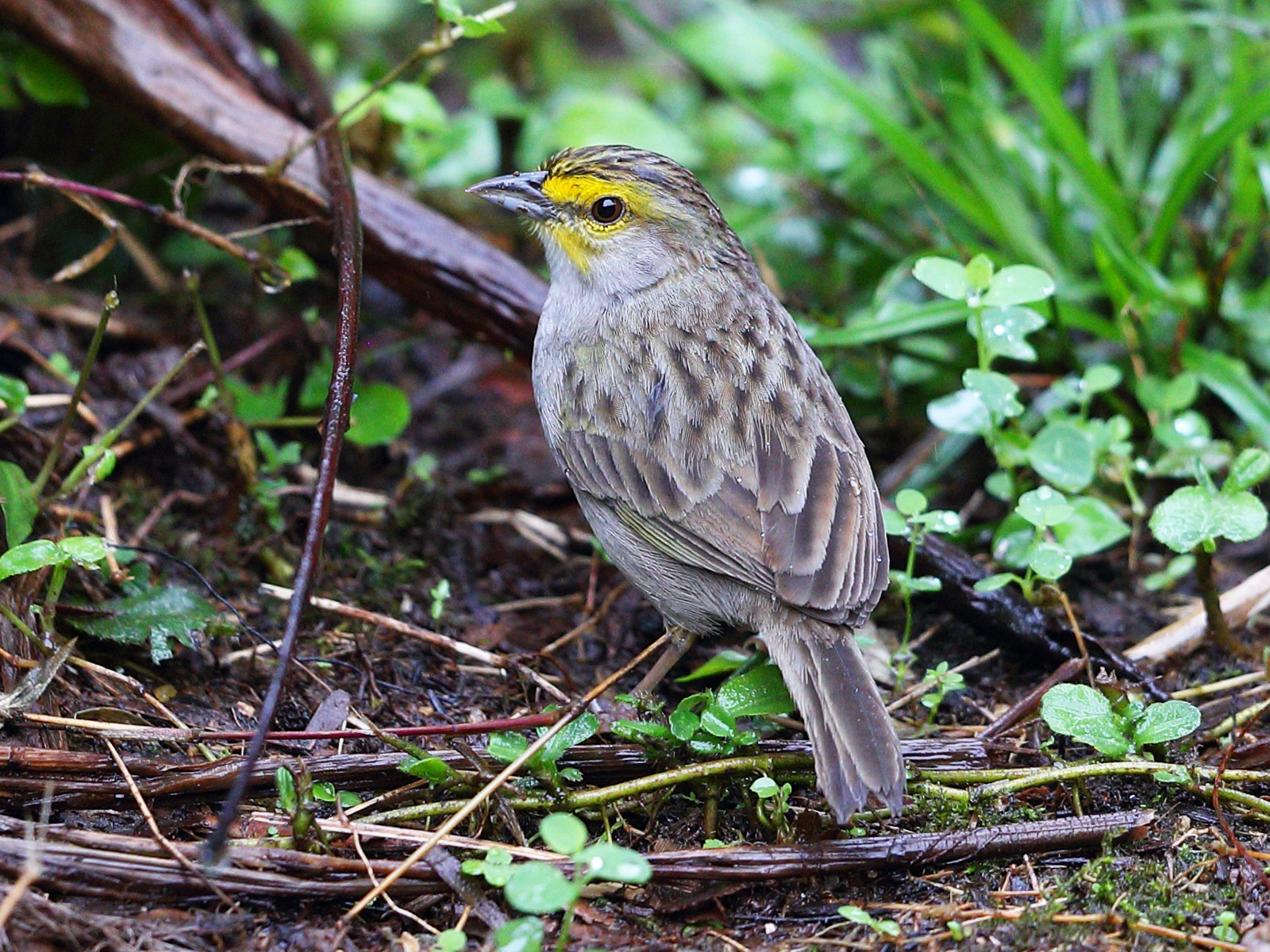 Yellow-browed Sparrow - Jon Irvine