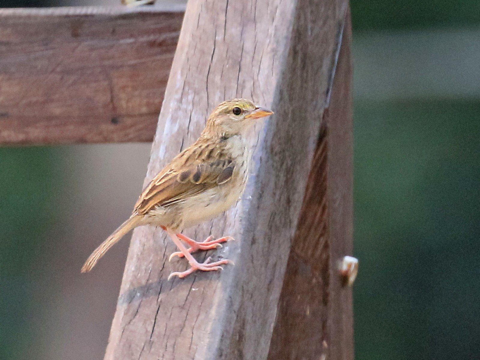 Yellow-browed Sparrow - David Lang