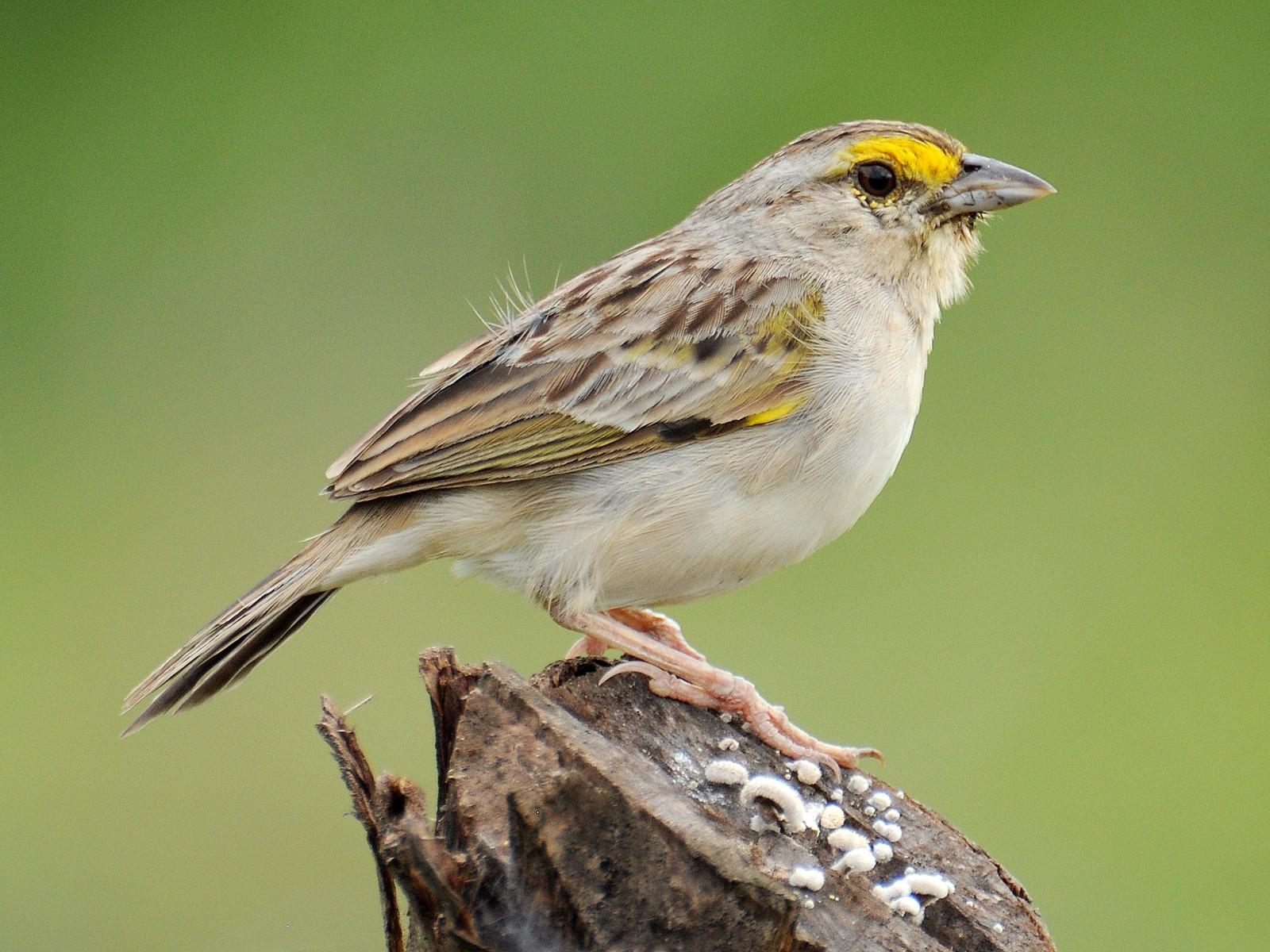 Yellow-browed Sparrow - Diana Flora Padron Novoa