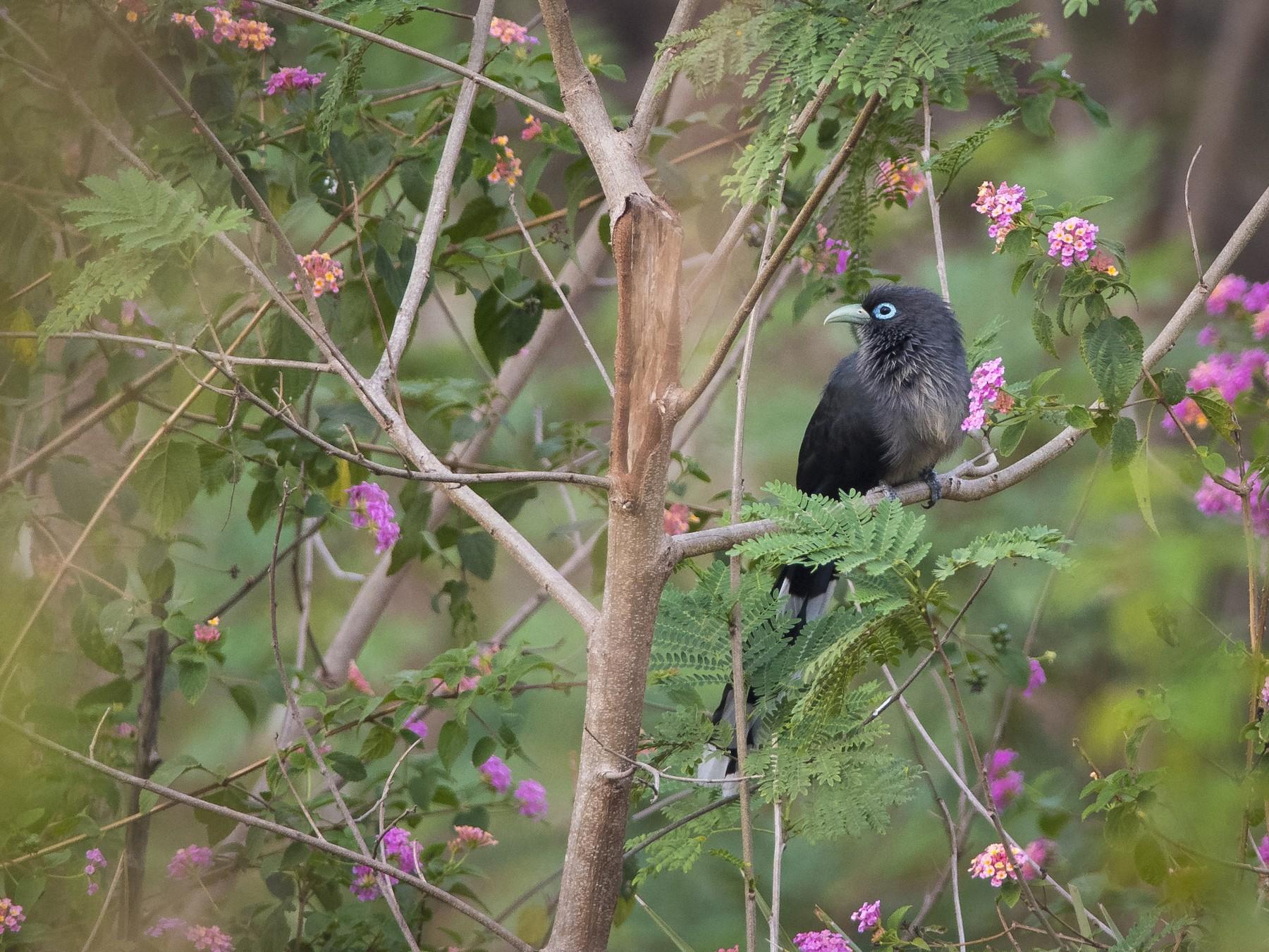Blue-faced Malkoha - Sivaguru Noopuran PRS