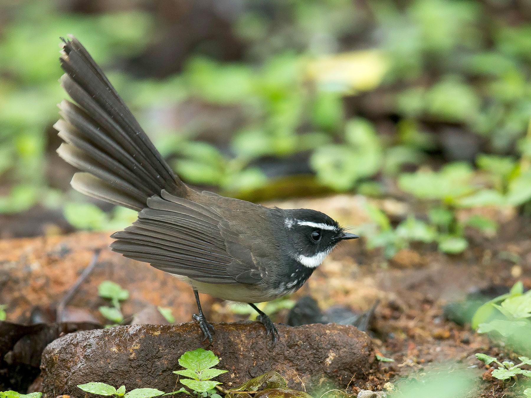 Spot-breasted Fantail - Rajinikanth Kasthuri