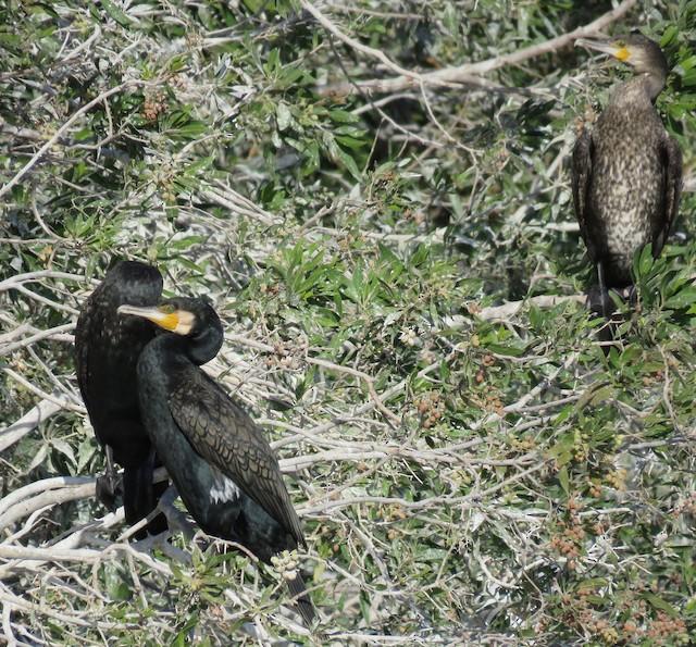 ©Brian James - Great Cormorant