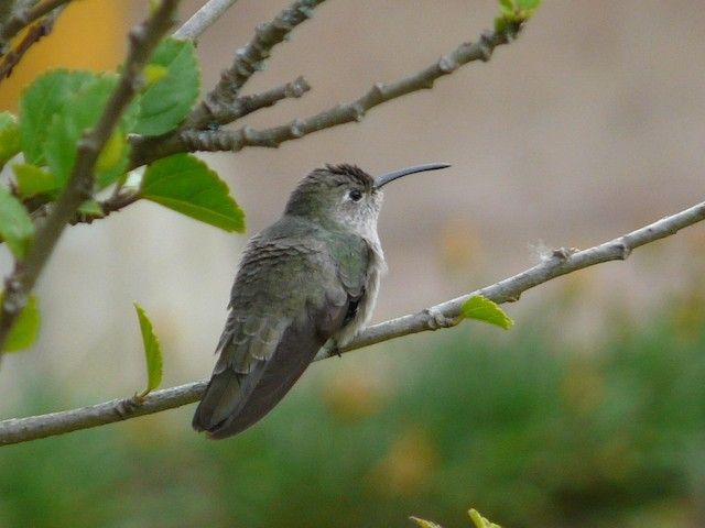 Spot-throated Hummingbird