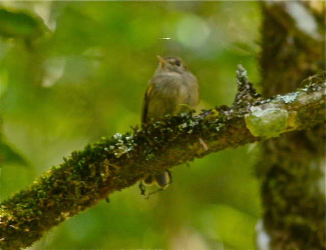 Brown-breasted Pygmy-Tyrant