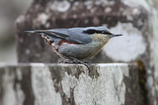 Chestnut-vented Nuthatch