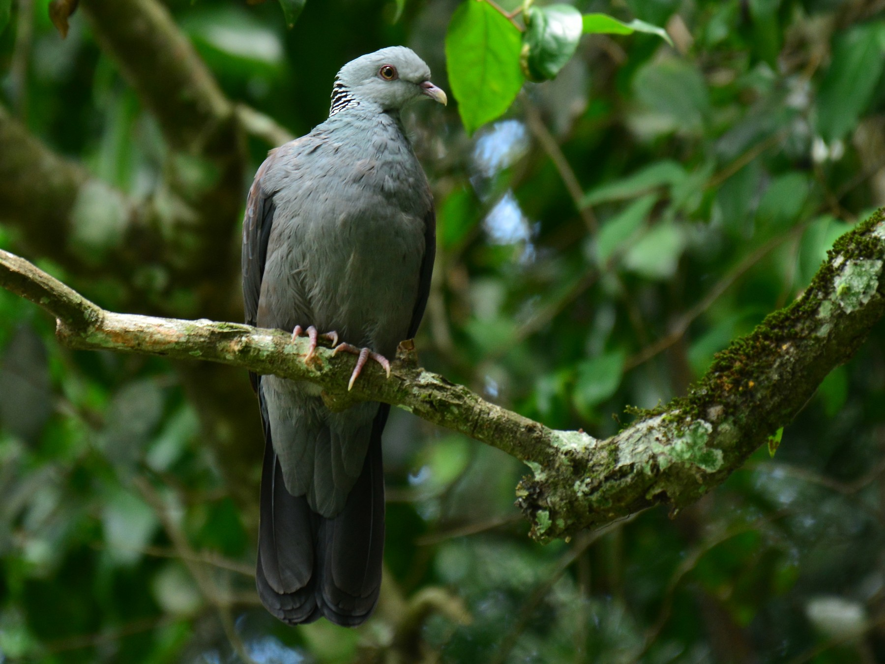 Nilgiri Wood-Pigeon - Renuka Vijayaraghavan