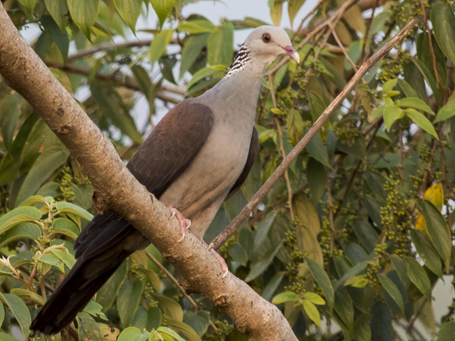 Nilgiri Wood-Pigeon - Mandar  Bhagat