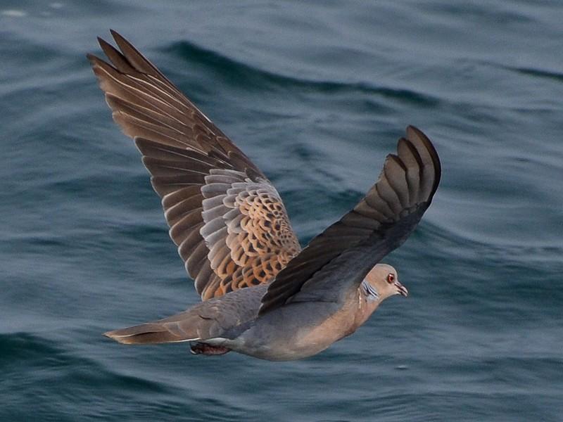 Oriental Turtle-Dove - Abhishek Jamalabad