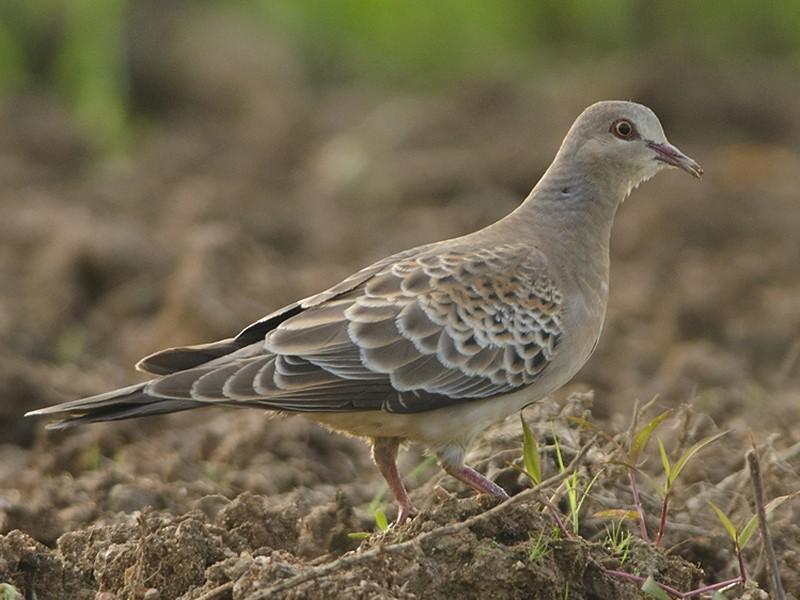 Oriental Turtle-Dove - Abhilash Arjunan