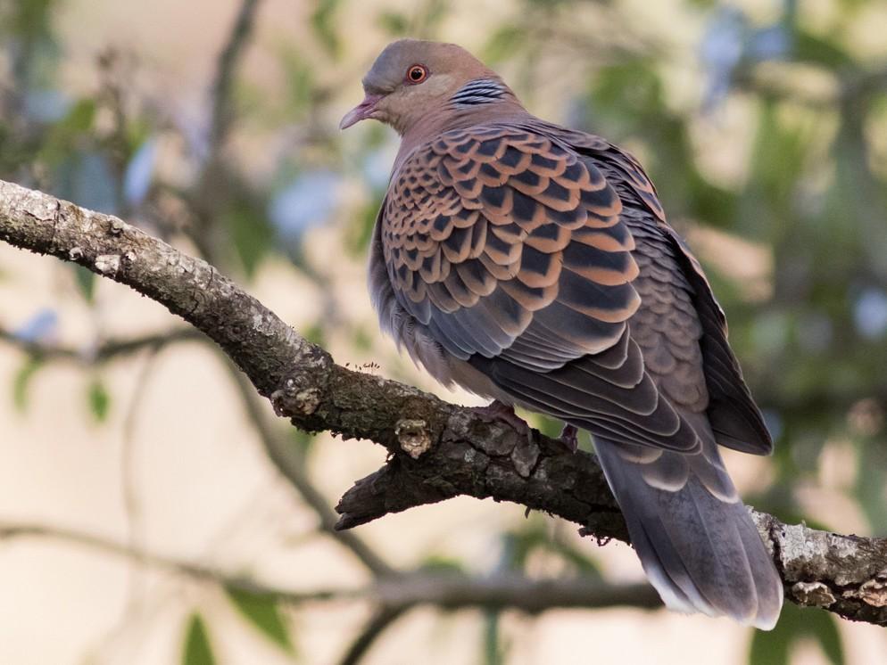 Oriental Turtle-Dove - Tom Johnson