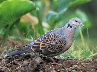 - Oriental Turtle-Dove
