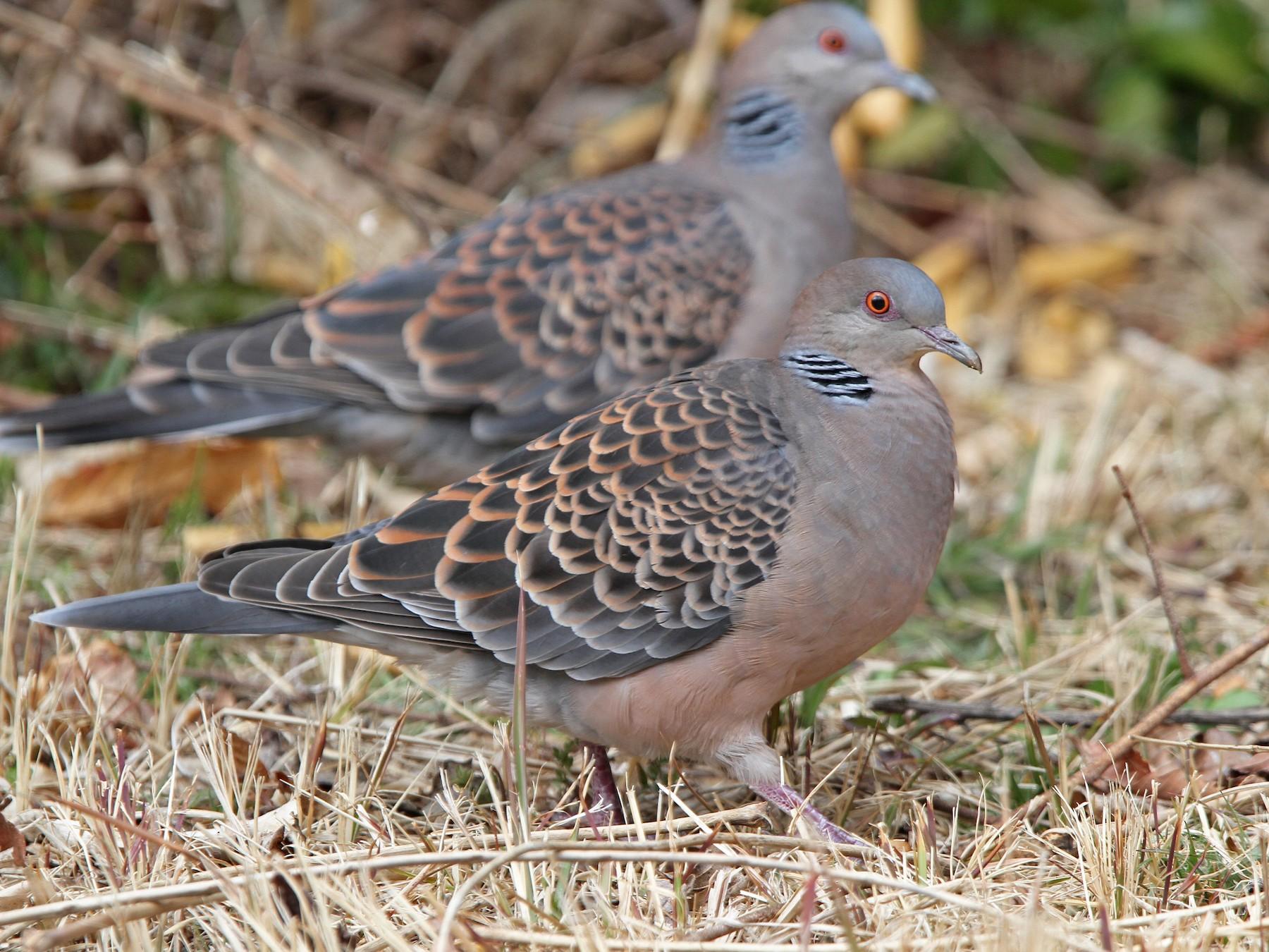 Oriental Turtle-Dove - Christoph Moning