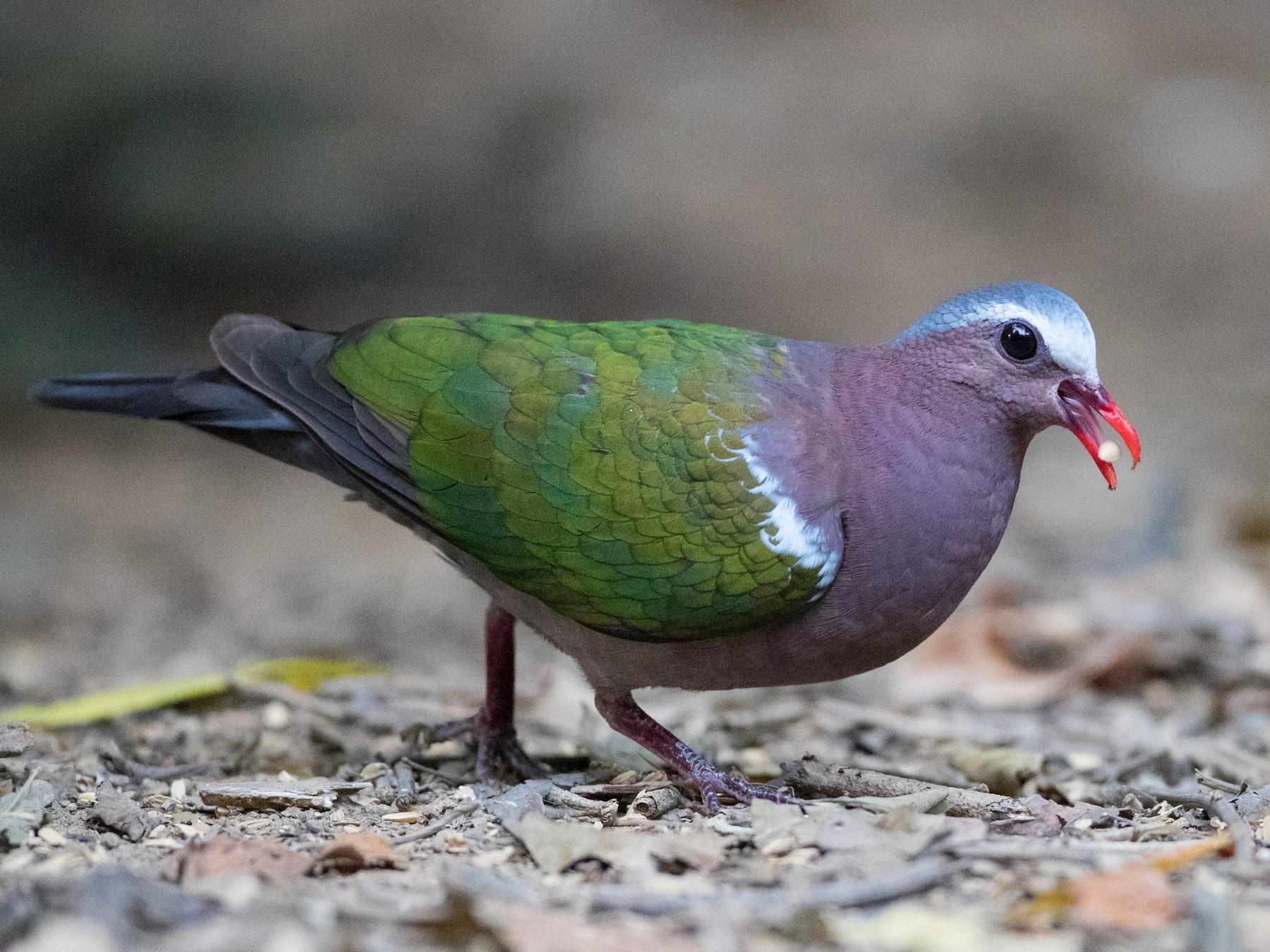 Asian Emerald Dove - Ian Davies