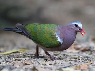 - Asian Emerald Dove