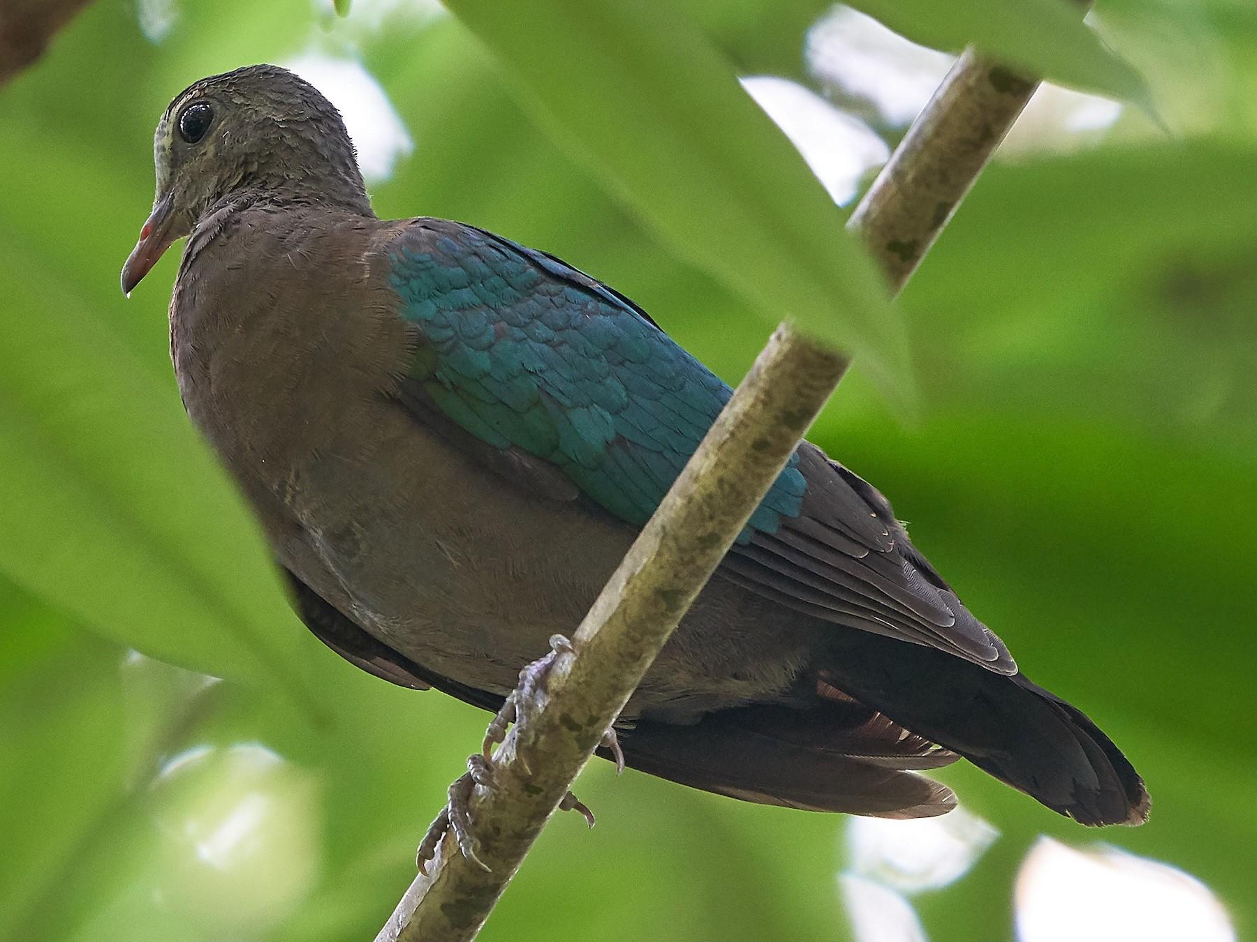 Asian Emerald Dove - Steven Cheong