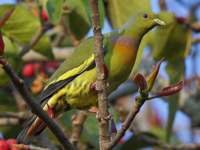 Orange-breasted Green-Pigeon - Albin Jacob