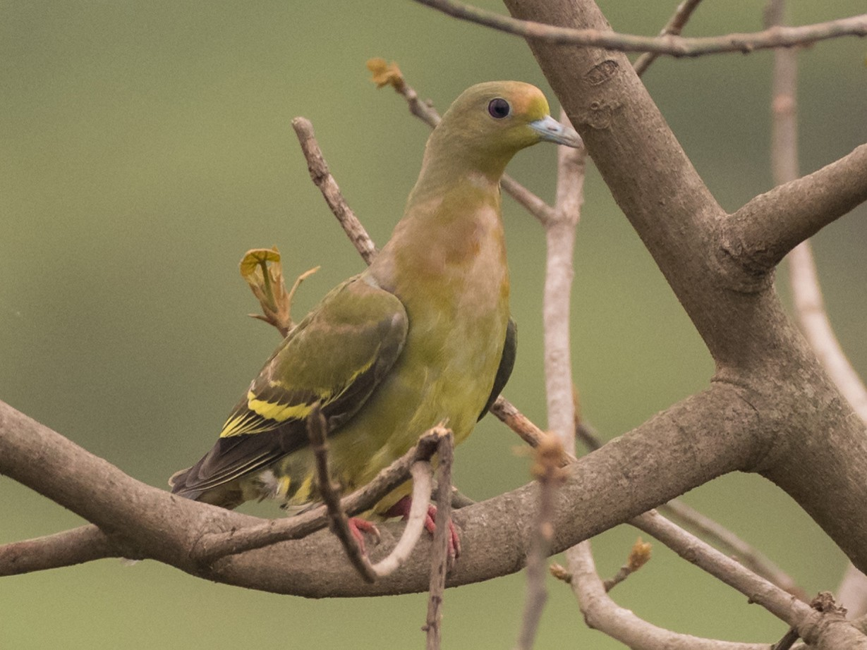 Orange-breasted Green-Pigeon - Sidharth Srinivasan