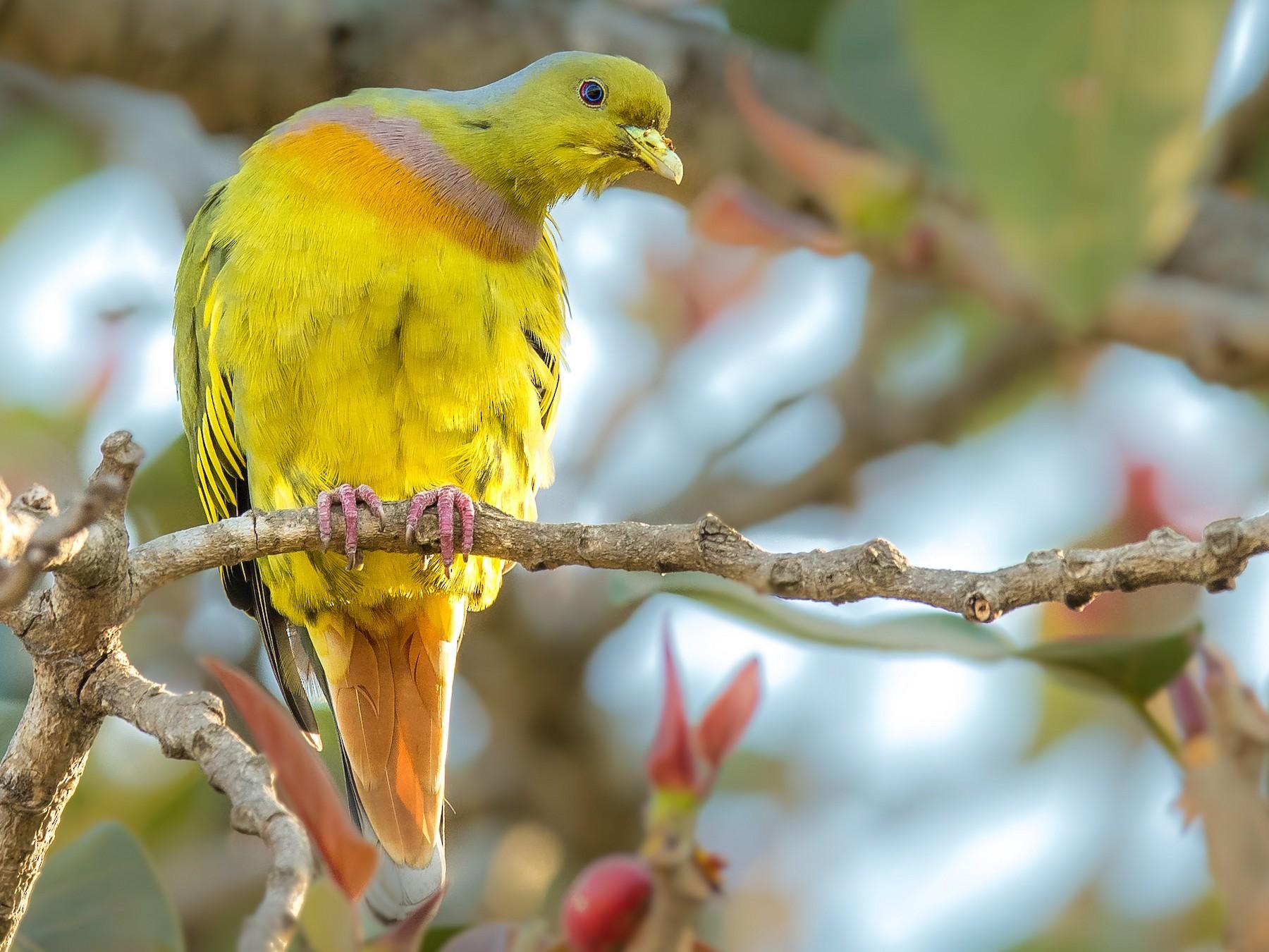 Orange-breasted Green-Pigeon - Sivaguru Noopuran PRS