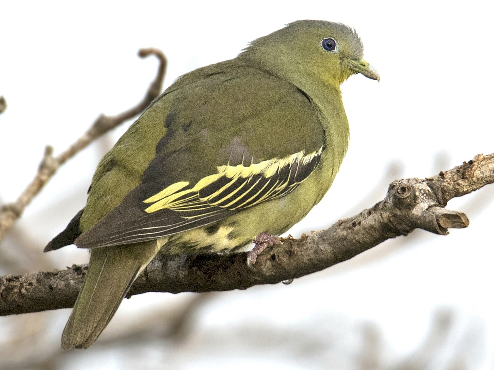 Gray-fronted Green-Pigeon - Swapnil Thatte