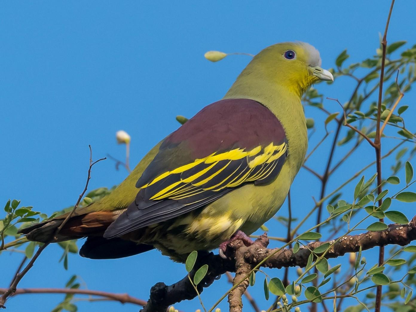 Gray-fronted Green-Pigeon - Prashant Tewari