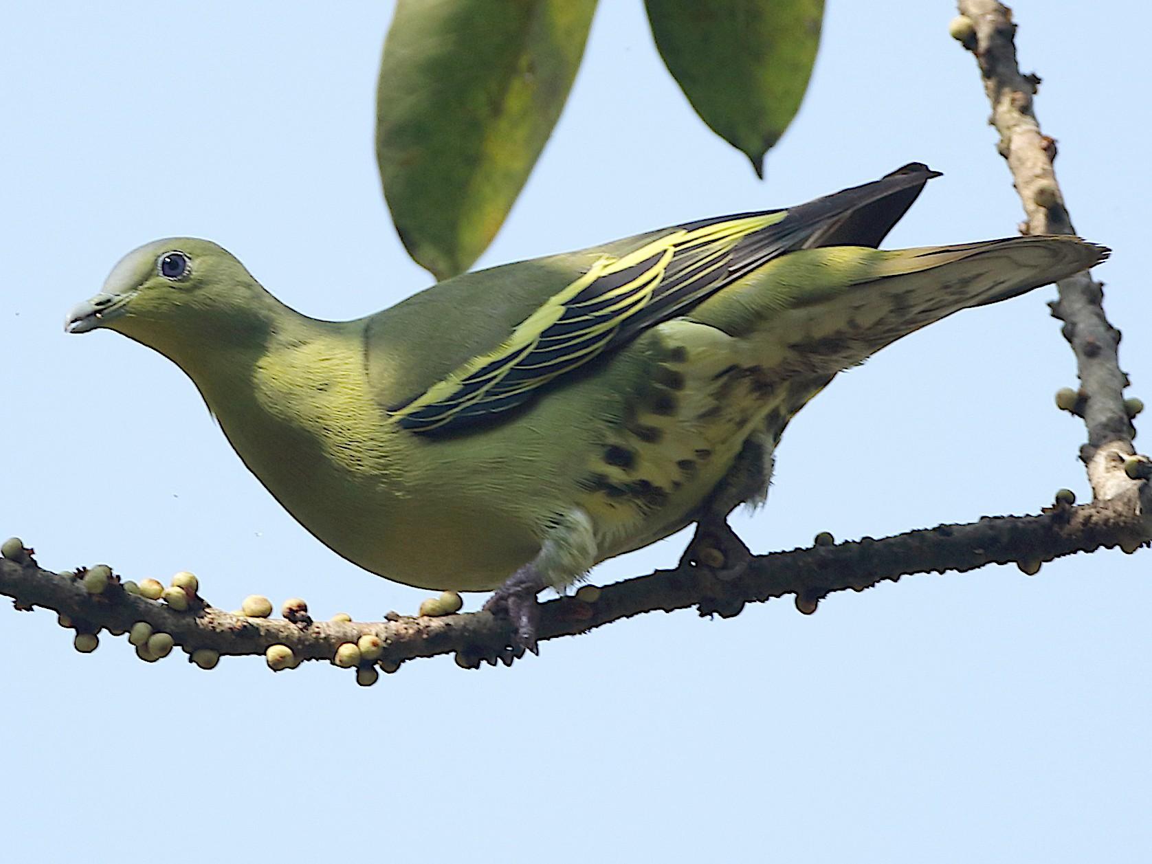 Gray-fronted Green-Pigeon - Savio Fonseca (www.avocet-peregrine.com)