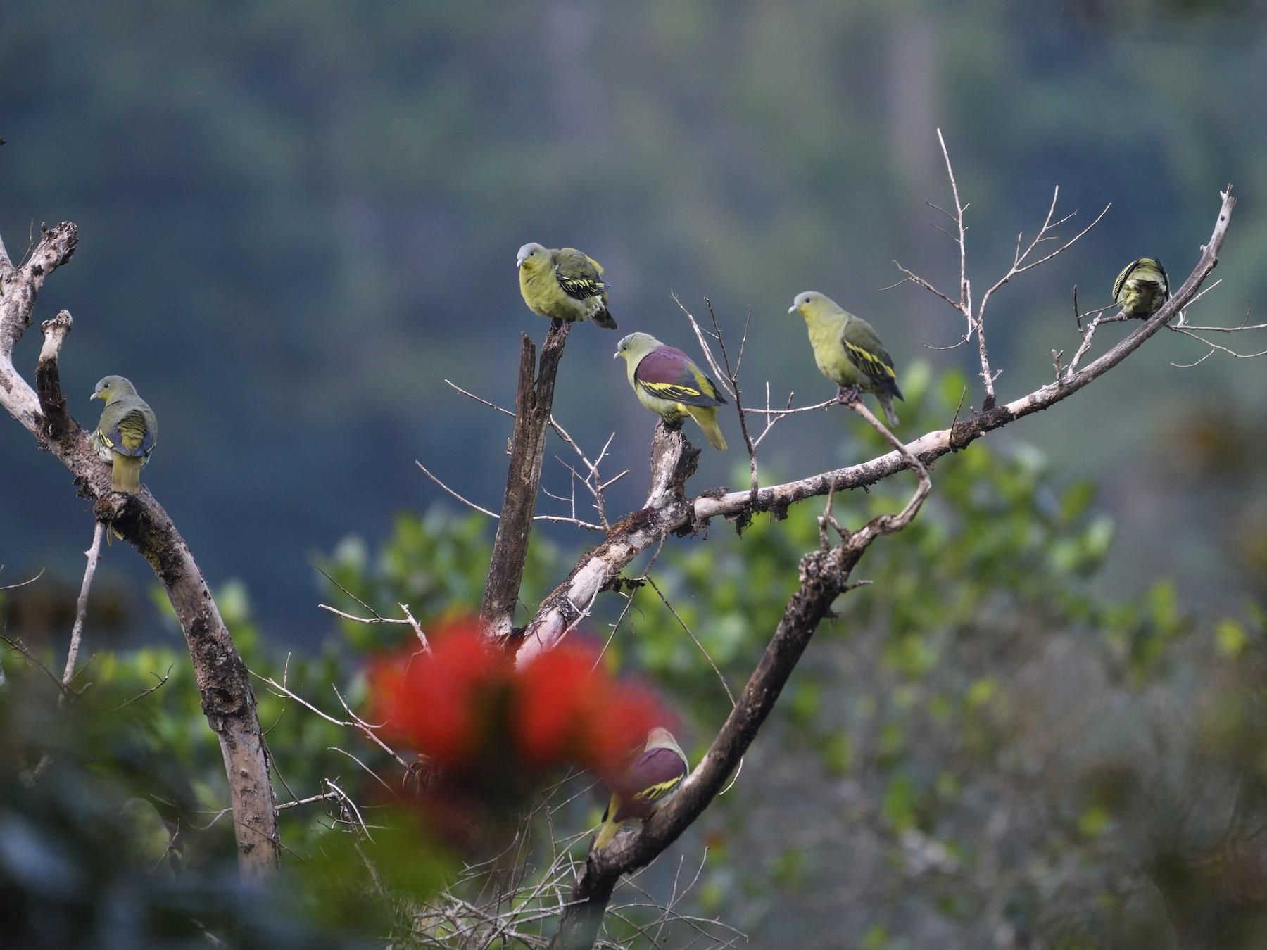 Gray-fronted Green-Pigeon - VIJAY S
