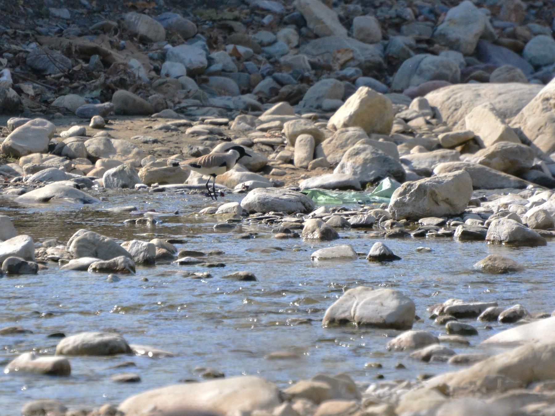 River Lapwing - Arun Varghese