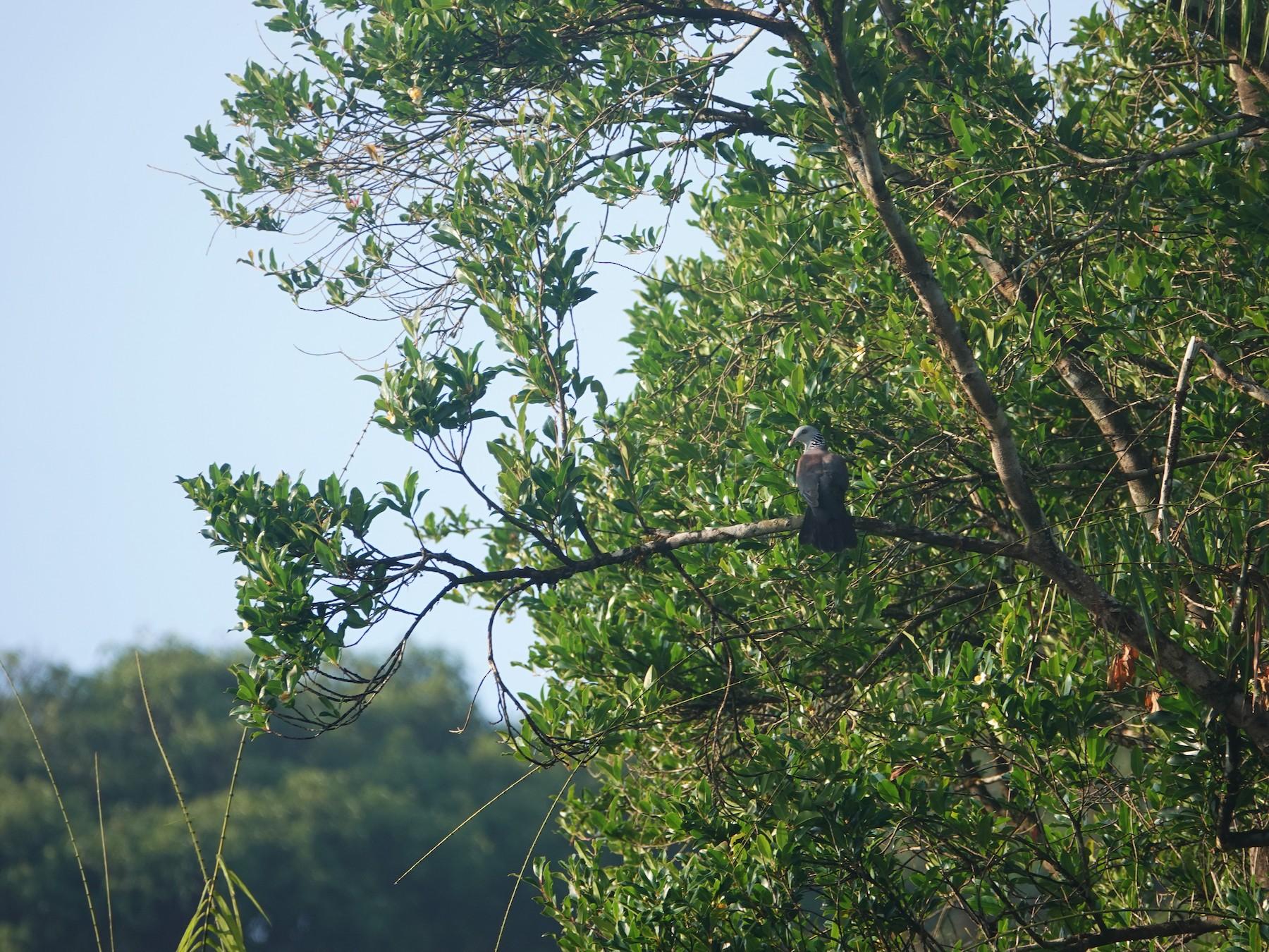 Nilgiri Wood-Pigeon - Subin Sudheendran