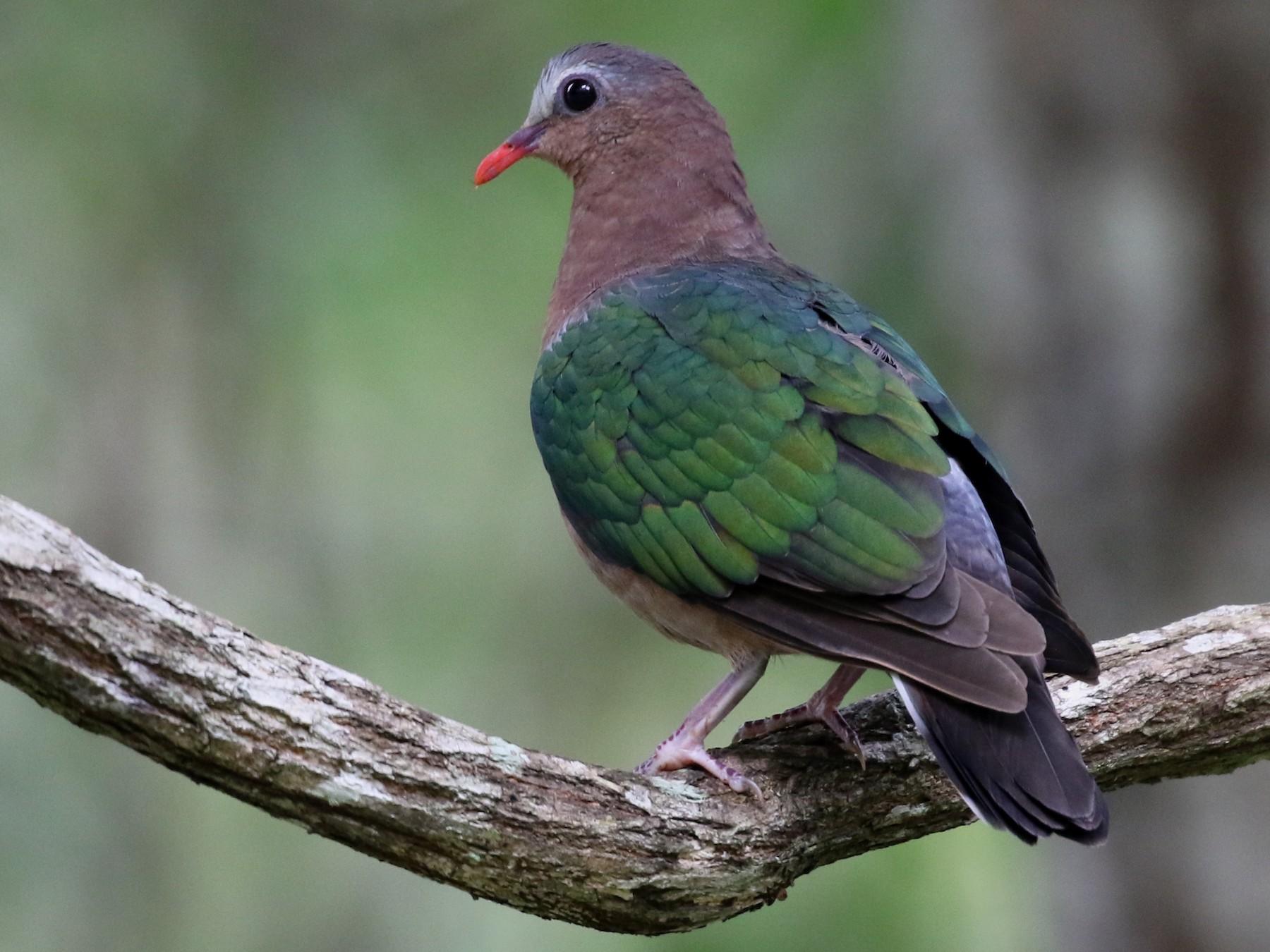 Asian Emerald Dove - Paul Farrell