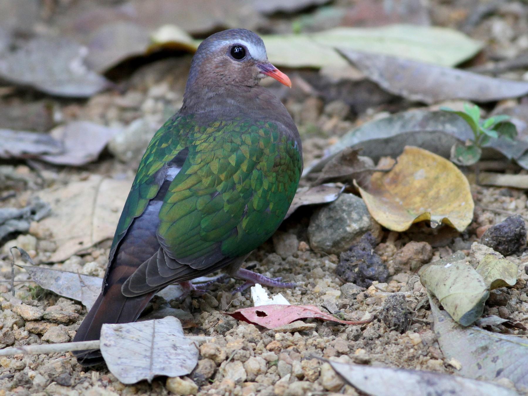 Asian Emerald Dove - Alen Lin