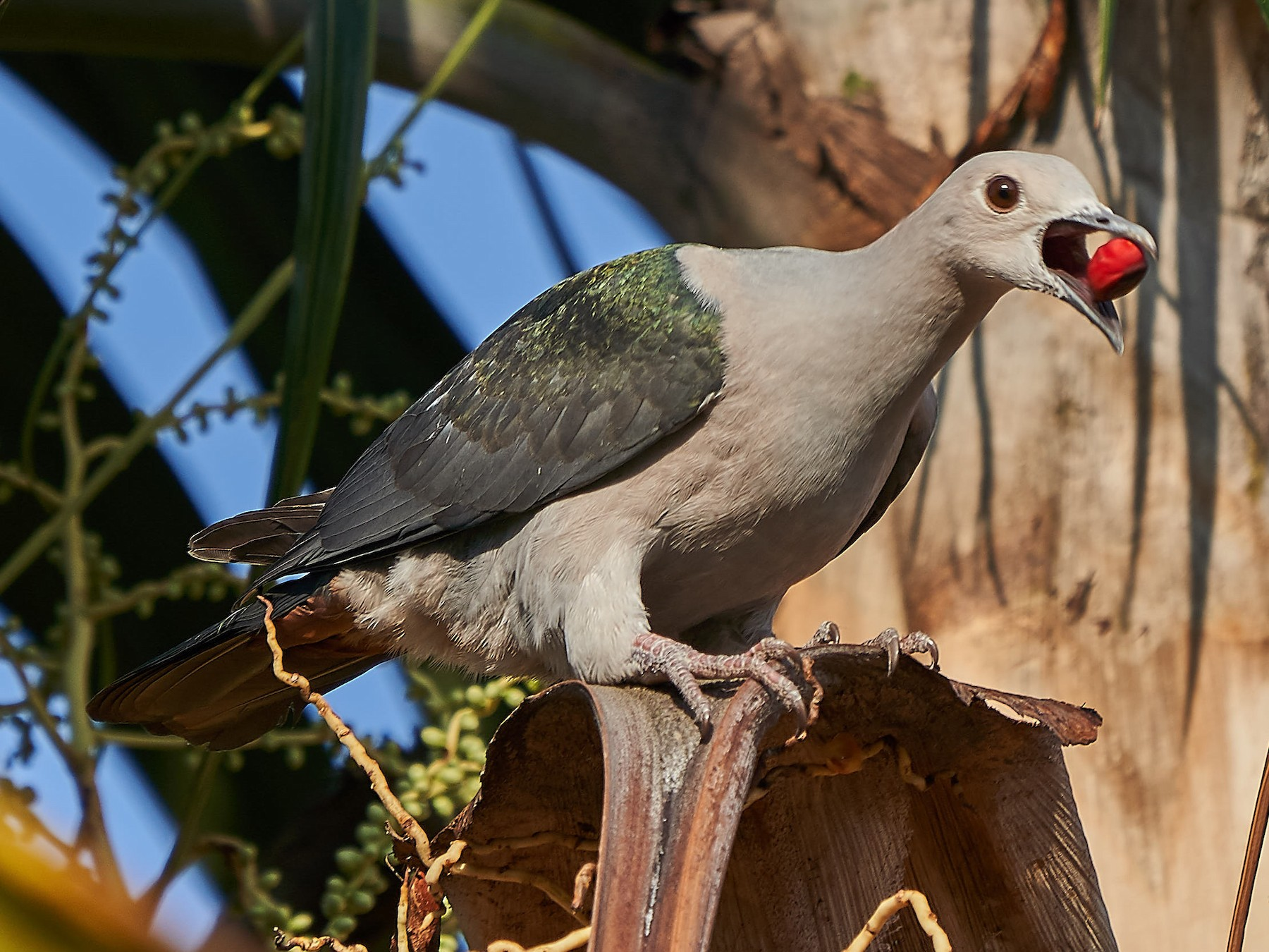 Green Imperial-Pigeon - Steven Cheong