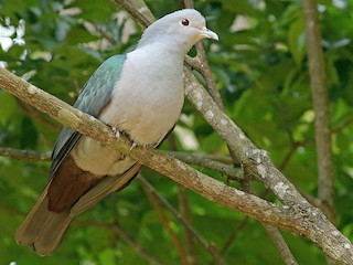 - Green Imperial-Pigeon