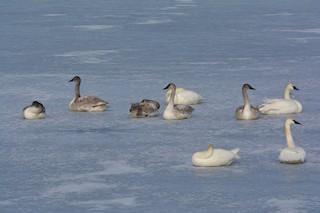 Trumpeter Swan, ML141887541