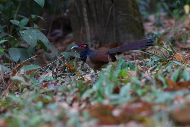 Rufous-winged Ground-Cuckoo