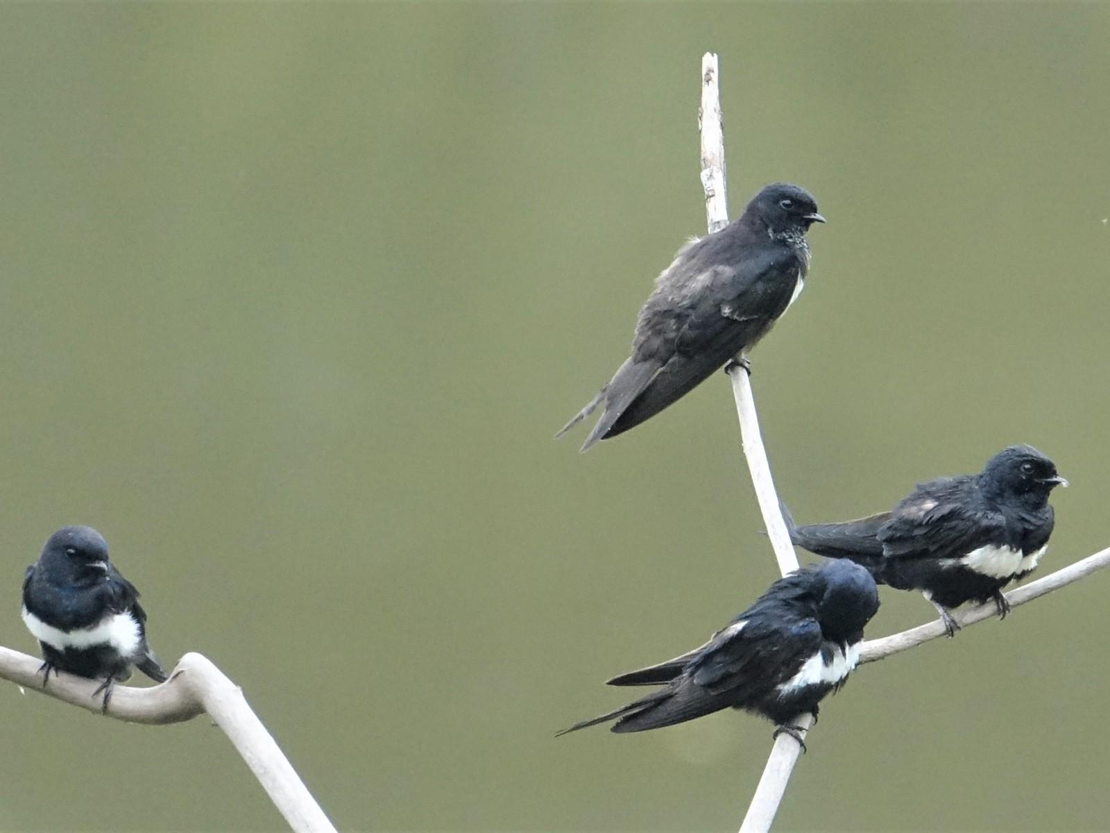 White-banded Swallow - Ottavio Janni