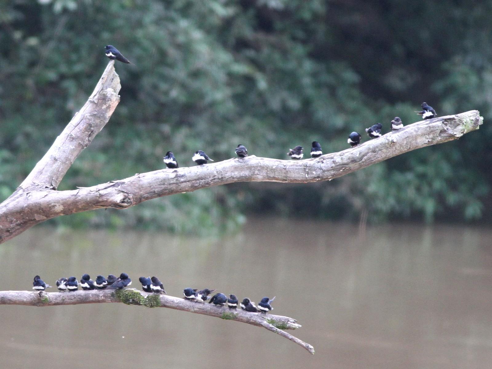 White-banded Swallow - Ian Davies