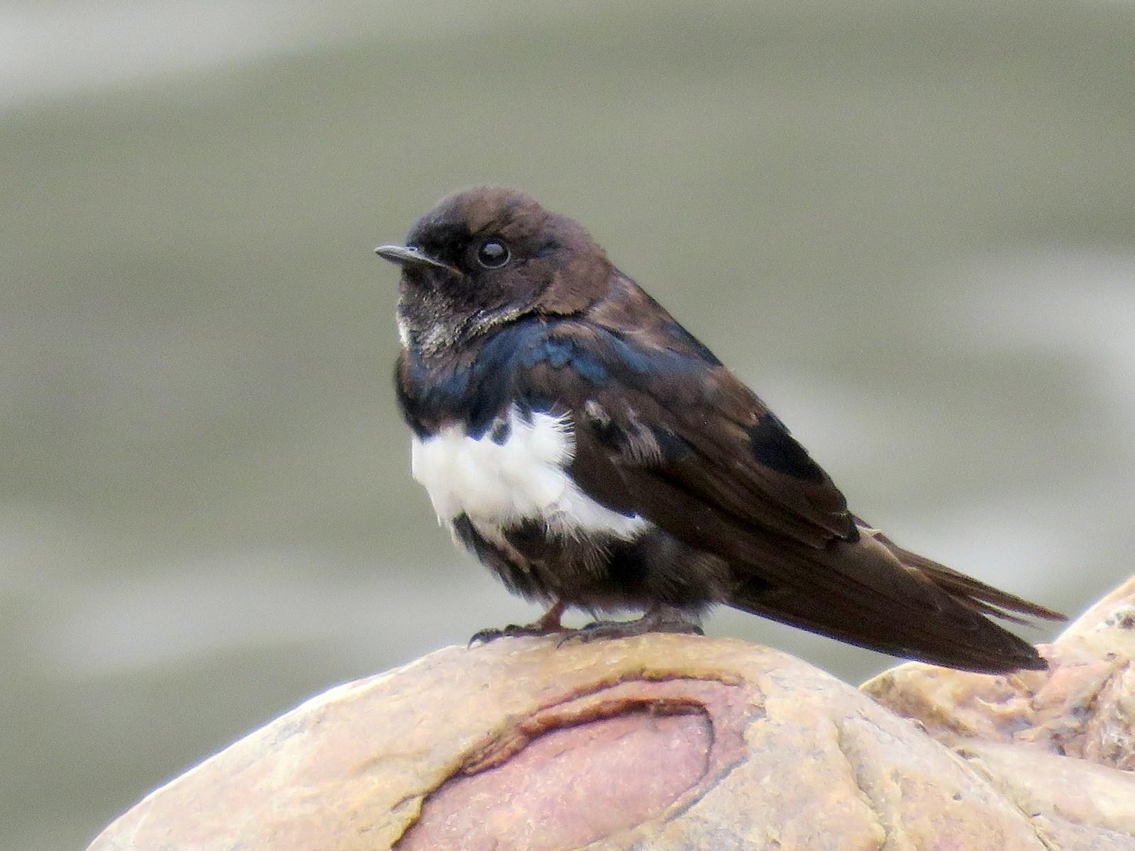 White-banded Swallow - Nestor Ccacya Baca