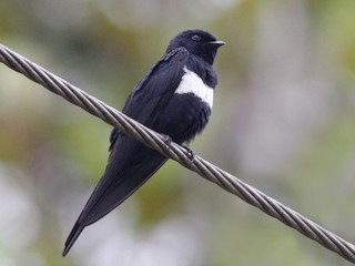- White-banded Swallow