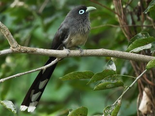 - Blue-faced Malkoha