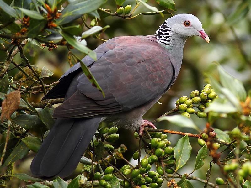 Nilgiri Wood-Pigeon - Aditya Roy