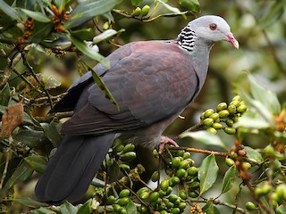 - Nilgiri Wood-Pigeon