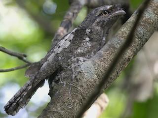 - Sri Lanka Frogmouth